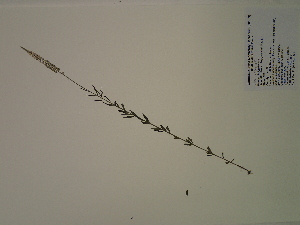 (Polygala ambigua - SEBB-891)  @11 [ ] Copyright (2012) John Barone Columbus State University