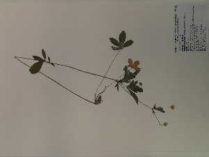(Potentilla simplex - SEBB-1209)  @11 [ ] Copyright (2012) John Barone Columbus State University