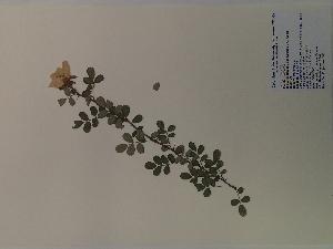 (Rosa bracteata - SEBB-503)  @11 [ ] Copyright (2012) John Barone Columbus State University