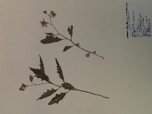 (Solanum carolinense - SEBB-188)  @11 [ ] Copyright (2012) John Barone Columbus State University