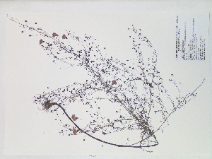 (Agalinis obtusifolia - SEBB-150)  @11 [ ] Copyright (2012) John Barone Columbus State University