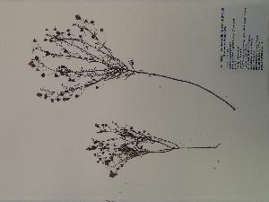 (Agalinis skinneriana - SEBB-144)  @11 [ ] Copyright (2012) John Barone Columbus State University