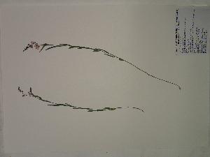 (Polygala polygama - SEBB-1369)  @11 [ ] Copyright (2012) John Barone Columbus State University