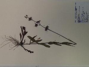 (Penstemon laxiflorus - SEBB-472)  @11 [ ] Copyright (2012) John Barone Columbus State University