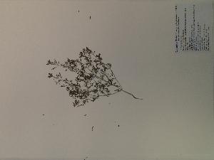 (Leucospora - SEBB-1193)  @11 [ ] Copyright (2012) John Barone Columbus State University