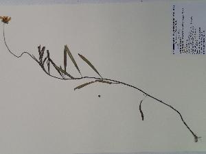 (Coreopsis - SEBB-460)  @11 [ ] Copyright (2010) John Barone Columbus State University
