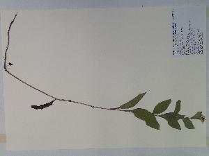 (Rudbeckia fulgida - SEBB-567)  @11 [ ] Copyright (2010) John Barone Columbus State University