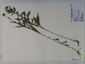 (Rudbeckia fulgida - SEBB-568)  @11 [ ] Copyright (2010) John Barone Columbus State University