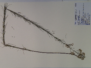 (Asclepias verticillata - SEBB-625)  @13 [ ] Copyright (2010) John Barone Columbus State University