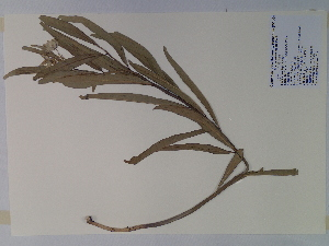 (Asclepias viridis - SEBB-631)  @13 [ ] Copyright (2010) John Barone Columbus State University