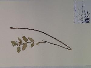 (Asclepias obovata - SEBB-627)  @13 [ ] Copyright (2010) John Barone Columbus State University