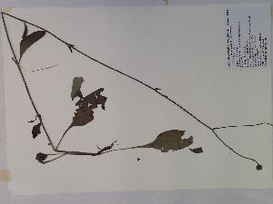 (Helianthus silphioides - SEBB-756)  @11 [ ] Copyright (2010) John Barone Columbus State University