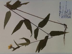 (Helianthus hirsutus - SEBB-574)  @11 [ ] Copyright (2010) John Barone Columbus State University