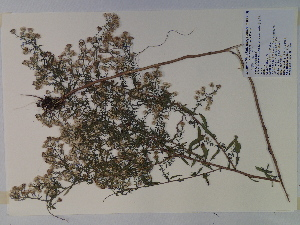 (Symphyotrichum - SEBB-219)  @11 [ ] Copyright (2010) John Barone Columbus State University
