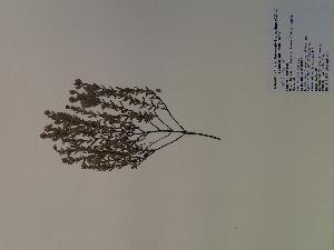 (Hypericum hypericoides - SEBB-280)  @11 [ ] Copyright (2010) John Barone Columbus State University