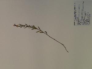(Hypericum sphaerocarpum - SEBB-1211)  @11 [ ] Copyright (2010) John Barone Columbus State University