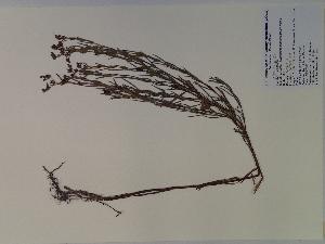 (Hypericum sphaerocarpum - SEBB-284)  @11 [ ] Copyright (2010) John Barone Columbus State University