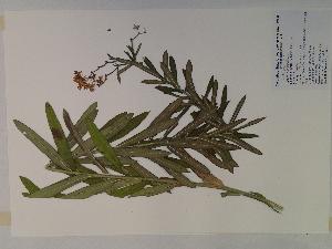 (Asclepias tuberosa - SEBB-1264)  @13 [ ] Copyright (2010) John Barone Columbus State University