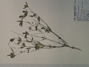 (Euphorbia dentata - SEBB-1238)  @11 [ ] Copyright (2012) John Barone Columbus State University