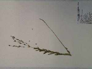 (Euphorbia corollata - SEBB-1018)  @11 [ ] Copyright (2012) John Barone Columbus State University