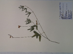 (Strophostyles umbellata - SEBB-190)  @11 [ ] Copyright (2012) John Barone Columbus State University