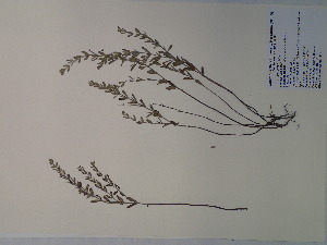 (Hedeoma - SEBB-411)  @11 [ ] Copyright (2012) John Barone Columbus State University