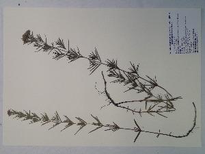(Pycnanthemum tenuifolium - SEBB-414)  @11 [ ] Copyright (2012) John Barone Columbus State University