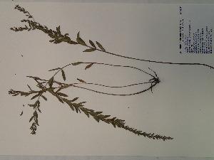 (Lythrum alatum - SEBB-1088)  @11 [ ] Copyright (2012) John Barone Columbus State University