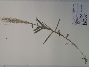 (Gymnopogon - SEBB-835)  @11 [ ] Copyright (2012) John Barone Columbus State University