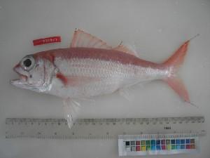 (Etelis carbunculus - F015-1)  @14 [ ] Copyright (2010) Mauritius Oceanography Institute Mauritius Oceanography Institute
