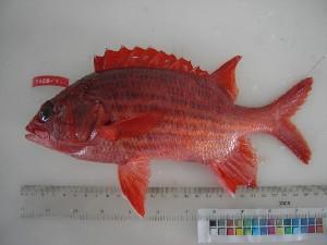 (Sargocentron tiere - F028-1)  @14 [ ] Copyright (2010) Mauritius Oceanography Institute Mauritius Oceanography Institute