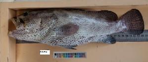 (Epinephelus polyphekadion - F034-2)  @15 [ ] Copyright (2010) Mauritius Oceanography Institute Mauritius Oceanography Institute