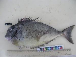 (Naso tuberosus - F101-2)  @13 [ ] Copyright (2011) Ruby Moothien Pillay Mauritius Oceanography Institute