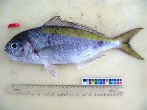 (Paracaesio - F131-2)  @14 [ ] Copyright (2011) Mauritius Oceanography Institute Mauritius Oceanography Institute
