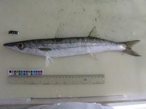 (Sphyraena flavicauda - F162-1)  @13 [ ] Copyright (2011) Mauritius Oceanography Institute Mauritius Oceanography Institute