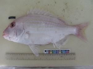 (Polysteganus - F164-1)  @11 [ ] Copyright (2011) Mauritius Oceanography Institute Mauritius Oceanography Institute