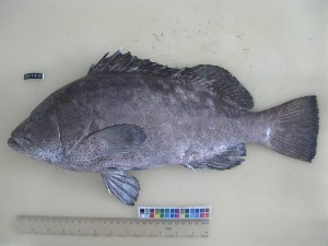 (Epinephelus multinotatus - F170-1)  @11 [ ] Copyright (2011) Mauritius Oceanography Institute Mauritius Oceanography Institute