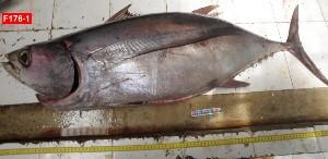 (Thunnus alalunga - F176-1)  @12 [ ] Copyright (2011) Mauritius Oceanography Institute Mauritius Oceanography Institute