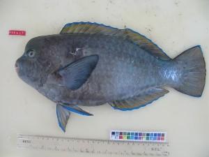 (Chlorurus cyanescens - F186-1)  @11 [ ] Copyright (2011) Mauritius Oceanography Institute Mauritius Oceanography Institute