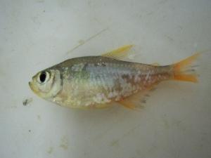 (Hyphessobrycon columbianus - KW11T119)  @13 [ ] CreativeCommons - Attribution Non-Commercial Share-Alike (2011) SAIAB SAIAB