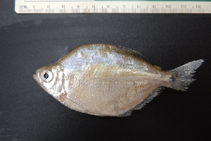 (Astyanax sp. 2 erythropterus - UNMDP-T 3912)  @11 [ ] Unspecified (default): All Rights Reserved  Unspecified Unspecified