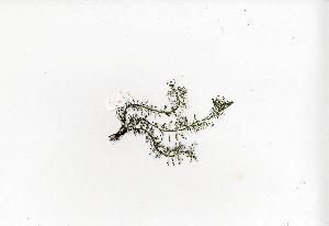 (Myriophyllum tuberculatum - RO_090)  @11 [ ] Copyright (2016) Ryan. D. Orton African Centre for DNA Barcoding