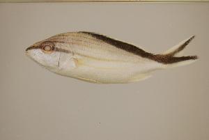 (Haemulon melanurum - FWRI00301)  @11 [ ] Creative Commons: Attribution Non-Commercial (by-nc) (2011) Smithsonian Institution Smithsonian Institution