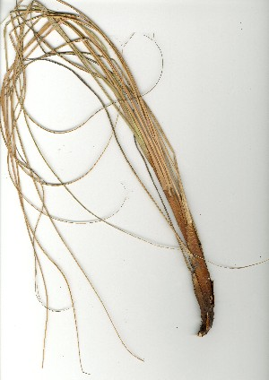 (Capeochloa - CC.621.15)  @11 [ ] Unspecified (default): All Rights Reserved  Unspecified Unspecified