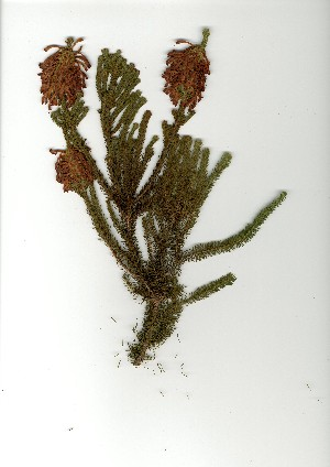 (Erica sessiliflora - CC.621.31)  @11 [ ] Unspecified (default): All Rights Reserved  Unspecified Unspecified