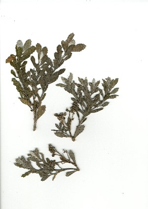 (Senecio halimifolius - CM.619.4)  @11 [ ] Unspecified (default): All Rights Reserved  Unspecified Unspecified