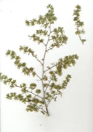 (Asparagus compactus - CM.620.38)  @11 [ ] Unspecified (default): All Rights Reserved  Unspecified Unspecified