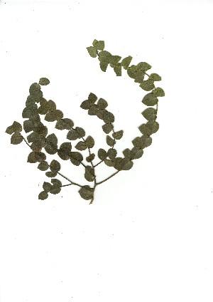 (Rafnia perfoliata - CM.620.49)  @11 [ ] Unspecified (default): All Rights Reserved  Unspecified Unspecified