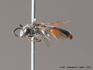 (Sphecodes ephippius - BC ZSM HYM 10114)  @14 [ ] CreativeCommons - Attribution Non-Commercial Share-Alike (2010) ZSM (Zoologische Staatssammlung Muenchen) SNSB, Zoologische Staatssammlung Muenchen