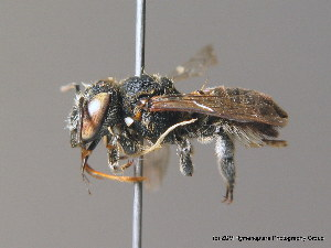 (Megachile flabellipes - BC ZSM HYM 10161)  @15 [ ] CreativeCommons - Attribution Non-Commercial Share-Alike (2010) ZSM (Zoologische Staatssammlung Muenchen) ZSM (Zoologische Staatssammlung Muenchen)